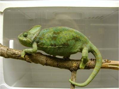 Veiled chameleon on perch