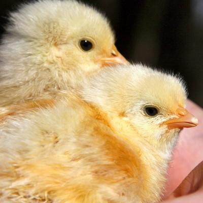 Colibacillose est souvent observée chez les poussins et dindonneaux 1 semaine d'âge ou plus jeune